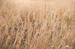Feld des Weizens bereit geerntet zu werden Sonnenuntergangweizenfeld stockbilder