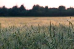 Feld des Weizens an der goldenen Stunde stockfotos