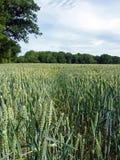 Feld des Weizens in der Sommerzeit Lizenzfreie Stockbilder