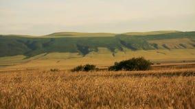 Feld des Weizens durchgebrannt durch den Wind mit großen Hügeln auf Hintergrund und kleinen Bäumen stock video