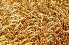 Feld des Weizens lizenzfreies stockbild