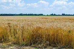 Feld des Weizens lizenzfreie stockfotografie
