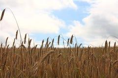 Feld des Weizens - Fotos auf Lager Stockfotografie