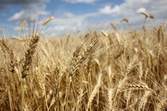 Feld des Weizens gegen den blauen Himmel Lizenzfreie Stockfotografie
