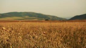 Feld des Weizens langsam durchgebrannt durch den Wind nah an Kameraansicht mit Bergen auf Hintergrund stock footage