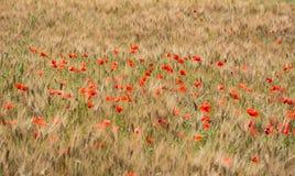 Feld des Weizens mit einigen roten Mohnblumen Lizenzfreies Stockbild