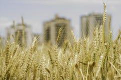 Feld des Weizens mit Gebäuden in der Rückseite Stockfotografie