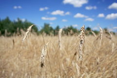 Feld des Weizens mit Stämmen lizenzfreie stockbilder