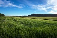 Feld des Weizens morgens Stockbild