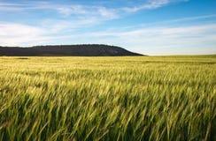 Feld des Weizens morgens Lizenzfreies Stockbild