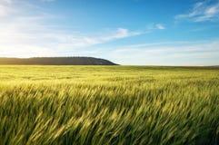 Feld des Weizens morgens Lizenzfreie Stockbilder