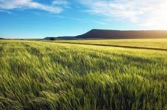 Feld des Weizens morgens Stockfoto