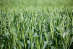 Feld des Weizens nach Regen Lizenzfreie Stockfotografie