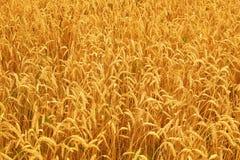 Feld des Weizens Reiches harverst Konzept Lizenzfreies Stockfoto