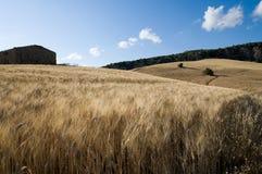 Feld des Weizens reif stockfotos