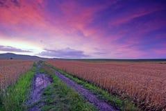 Feld des Weizens am Sonnenuntergang Lizenzfreie Stockfotos