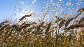 Feld des Weizens in sonnigem und im Freien lizenzfreies stockfoto