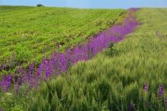 Feld des Weizens umrandet mit purpurroten Blumen Lizenzfreies Stockfoto