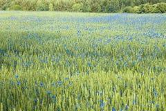 Feld des Weizens und der Kornblumen Stockbild