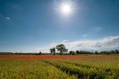 Feld des Weizens und der Mohnblumen Stockbilder