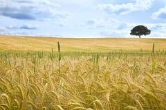 Feld des Weizens und des Baums auf dem Horizont stockfotografie