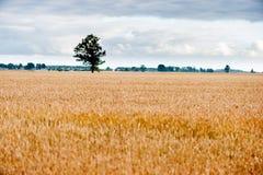 Feld des Weizens und des einsamen Baums im Hintergrund Lizenzfreies Stockbild
