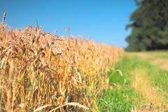 Feld des Weizens und des grünen Grases Stockfotos