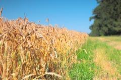 Feld des Weizens und des grünen Grases Stockbild