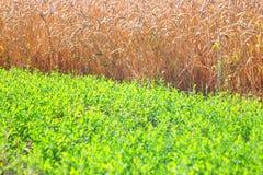 Feld des Weizens und des grünen Grases Lizenzfreies Stockbild