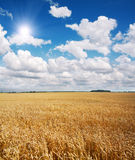 Feld des Weizens und des schönen blauen Himmels Stockfoto