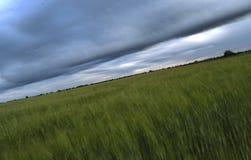 Feld des Weizens vor Regen Lizenzfreies Stockbild