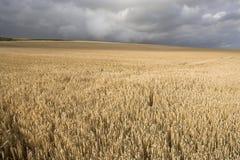 Feld des Weizens während eines dunklen bewölkten Tages Lizenzfreie Stockfotos
