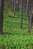 Feld des wilden Knoblauchs Lizenzfreie Stockbilder