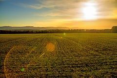 Feld des Winterweizens mit Sonnenuntergang Stockfotos