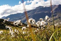 Feld des Wollgrases in Island stockbild
