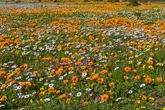 Feld gefüllt mit orange weißen und gelben Frühlings-Blumen Stockfotografie