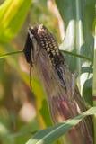 Feld gepflanzt mit Maiskörnern Lizenzfreie Stockfotografie