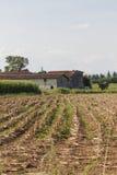 Feld gepflanzt mit Maiskörnern Stockbilder