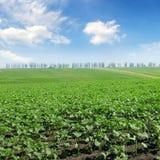 Feld keimt Sonnenblume und blauen Himmel Lizenzfreie Stockfotos