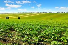 Feld keimt Sonnenblume und blauen Himmel Stockbilder