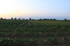 Feld mit Baumwollbäumen lizenzfreie stockfotografie