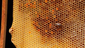 Feld mit Biene stock video footage