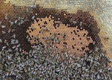 Feld mit Bienenwaben und vielen Kriechenbienen Stockfotografie