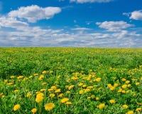 Feld mit blühendem Löwenzahn an einem sonnigen Tag Stockbild