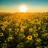 Feld mit blühenden Sonnenblumen auf einem Hintergrund des Sonnenuntergangs Stockfotos