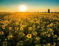 Feld mit blühenden Sonnenblumen auf einem Hintergrund des Sonnenuntergangs Stockbild