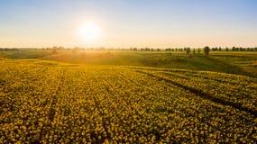 Feld mit blühenden Sonnenblumen auf einem Hintergrund des Sonnenuntergangs Lizenzfreie Stockbilder