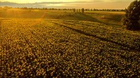 Feld mit blühenden Sonnenblumen auf einem Hintergrund des Sonnenuntergangs Lizenzfreie Stockfotos