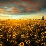 Feld mit blühenden Sonnenblumen auf einem Hintergrund des Sonnenuntergangs Stockbilder