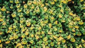 Feld mit blühenden Sonnenblumen Schattenbild des kauernden Geschäftsmannes oberseite Von oben Lizenzfreie Stockbilder
